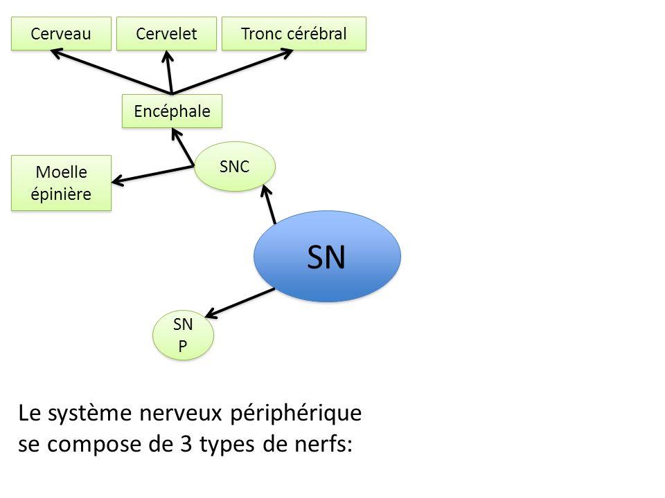 SNC SN P SN Encéphale Moelle épinière Cerveau Cervelet Tronc cérébral Le système nerveux périphérique se compose de 3 types de nerfs: