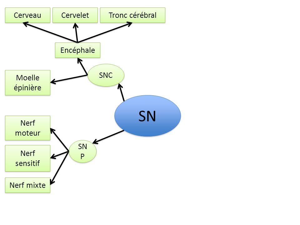 SNC SN P SN Nerf moteur Nerf sensitif Nerf mixte Encéphale Moelle épinière neurone Cerveau Cervelet Tronc cérébral La cellule nerveuse possède 4 principales parties: