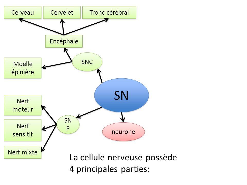 SNC SN P SN Nerf moteur Nerf sensitif Nerf mixte Encéphale Moelle épinière neurone Cerveau Cervelet Tronc cérébral La cellule nerveuse possède 4 princ