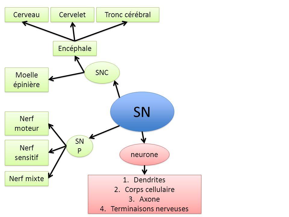 SNC SN P SN Nerf moteur Nerf sensitif Nerf mixte Encéphale Moelle épinière neurone Cerveau Cervelet Tronc cérébral 1.Dendrites 2.Corps cellulaire 3.Axone 4.Terminaisons nerveuses 1.Dendrites 2.Corps cellulaire 3.Axone 4.Terminaisons nerveuses influx nerveux Se propage de 2 façons: