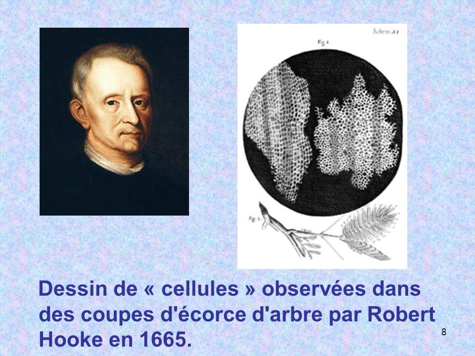 Dessin de « cellules » observées dans des coupes d'écorce d'arbre par Robert Hooke en 1665. 8