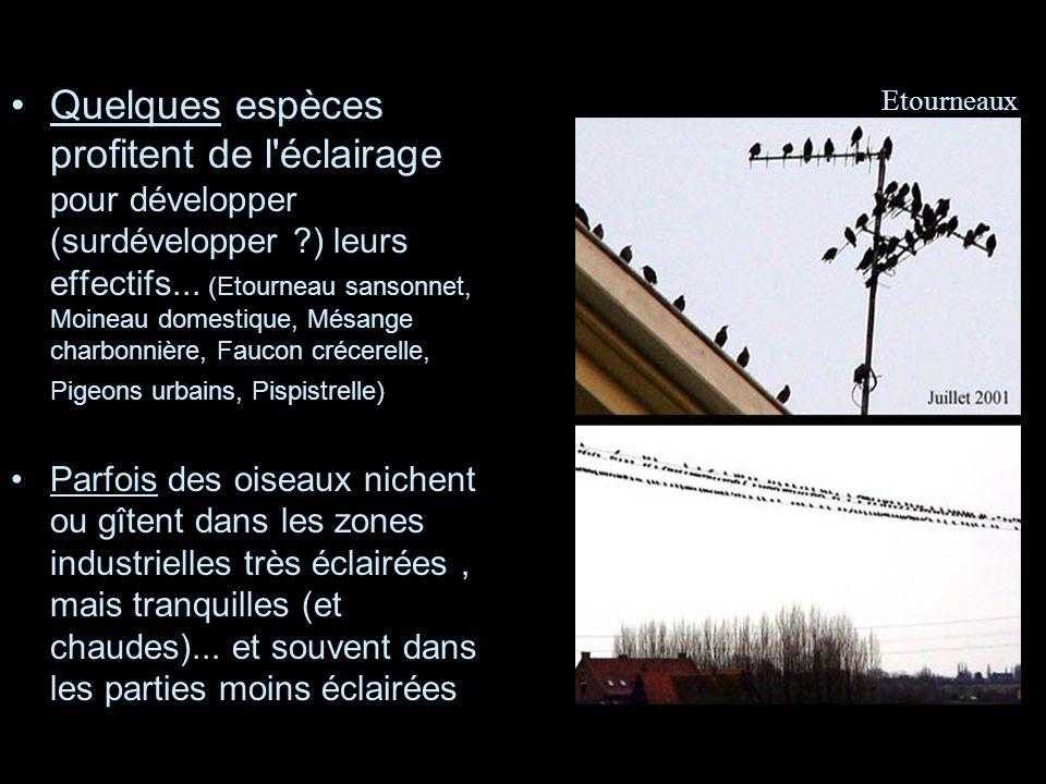 Quelques espèces profitent de l'éclairage pour développer (surdévelopper ?) leurs effectifs... (Etourneau sansonnet, Moineau domestique, Mésange charb