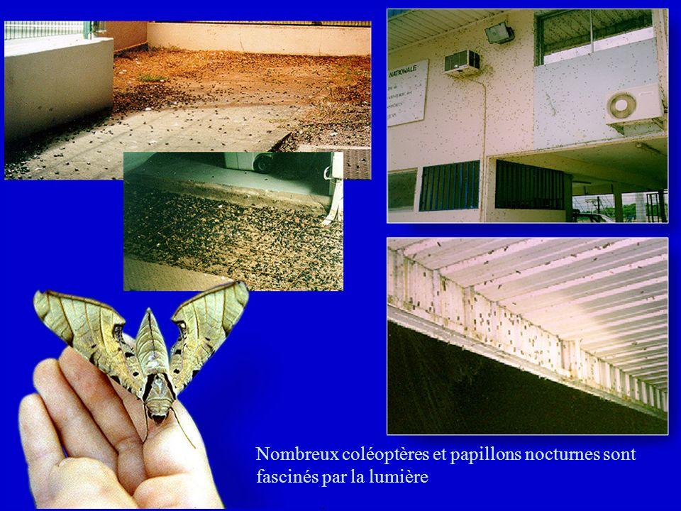 Nombreux coléoptères et papillons nocturnes sont fascinés par la lumière