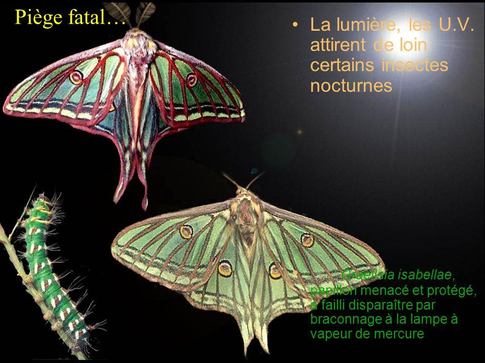 La lumière, les U.V. attirent de loin certains insectes nocturnes Graellsia isabellae, papillon menacé et protégé, a failli disparaître par braconnage