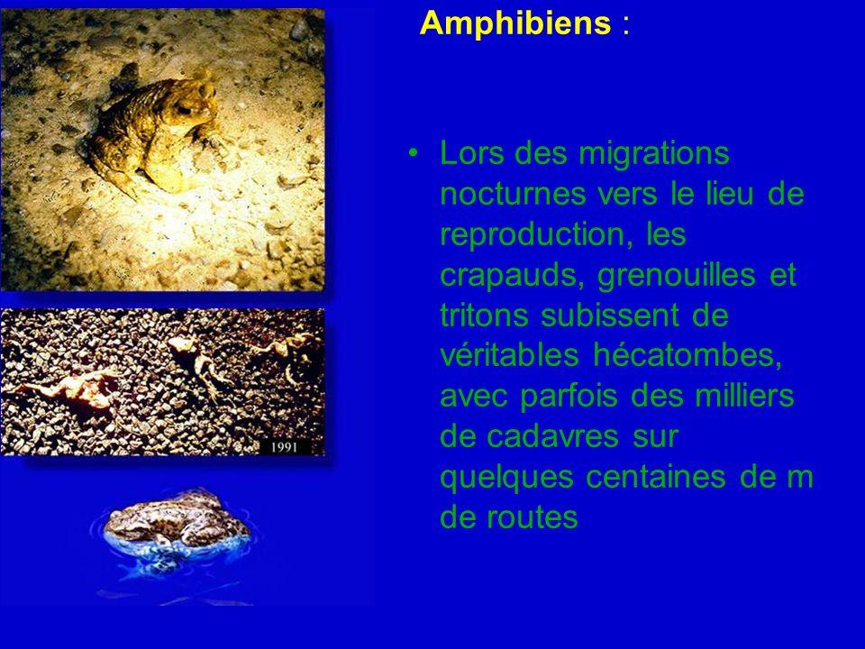 Amphibiens : Lors des migrations nocturnes vers le lieu de reproduction, les crapauds, grenouilles et tritons subissent de véritables hécatombes, avec