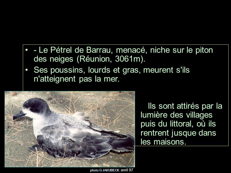 - Le Pétrel de Barrau, menacé, niche sur le piton des neiges (Réunion, 3061m). Ses poussins, lourds et gras, meurent s'ils n'atteignent pas la mer. Il
