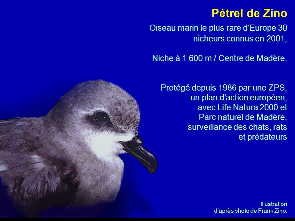 Pétrel de Zino Oiseau marin le plus rare dEurope 30 nicheurs connus en 2001, Niche à 1 600 m / Centre de Madère. Protégé depuis 1986 par une ZPS, un p
