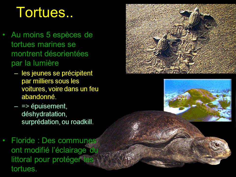 Tortues.. Au moins 5 espèces de tortues marines se montrent désorientées par la lumière –les jeunes se précipitent par milliers sous les voitures, voi
