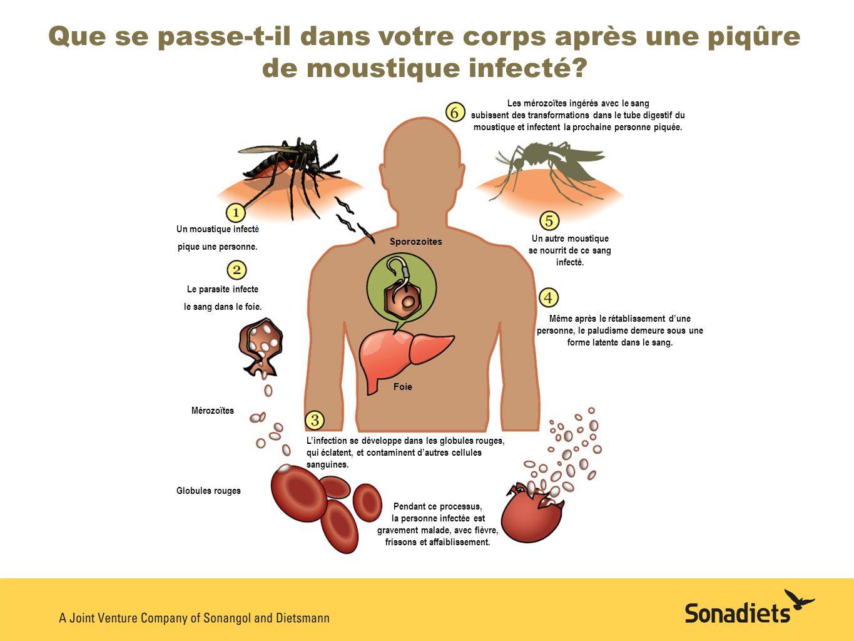 Que se passe-t-il dans votre corps après une piqûre de moustique infecté? Les mérozoïtes ingérés avec le sang subissent des transformations dans le tu