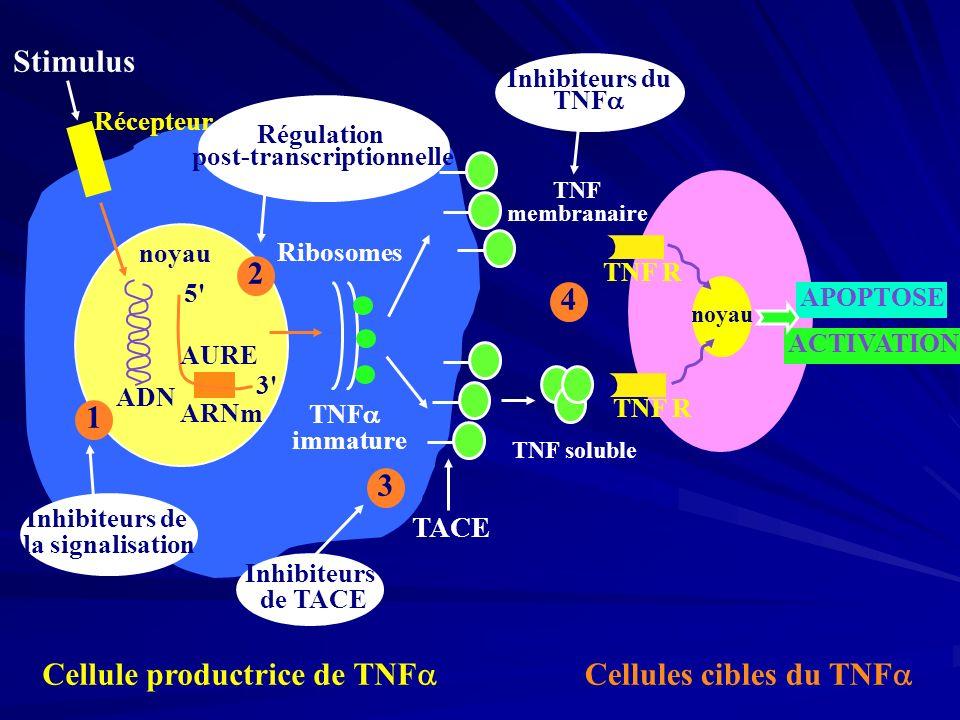 Stimulus noyau ADN 5' 3' AURE ARNm TNF immature Ribosomes 1 Récepteur noyau TNF R APOPTOSE ACTIVATION TNF membranaire TACE Inhibiteurs de la signalisa