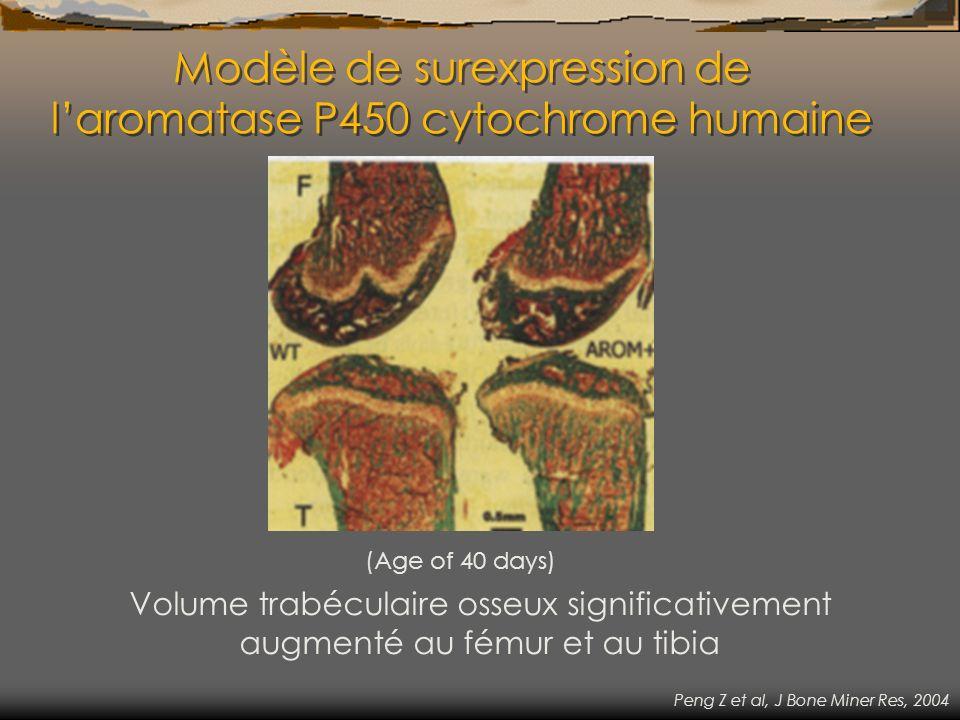 Modèle de surexpression de laromatase P450 cytochrome humaine (Age of 40 days) Volume trabéculaire osseux significativement augmenté au fémur et au ti