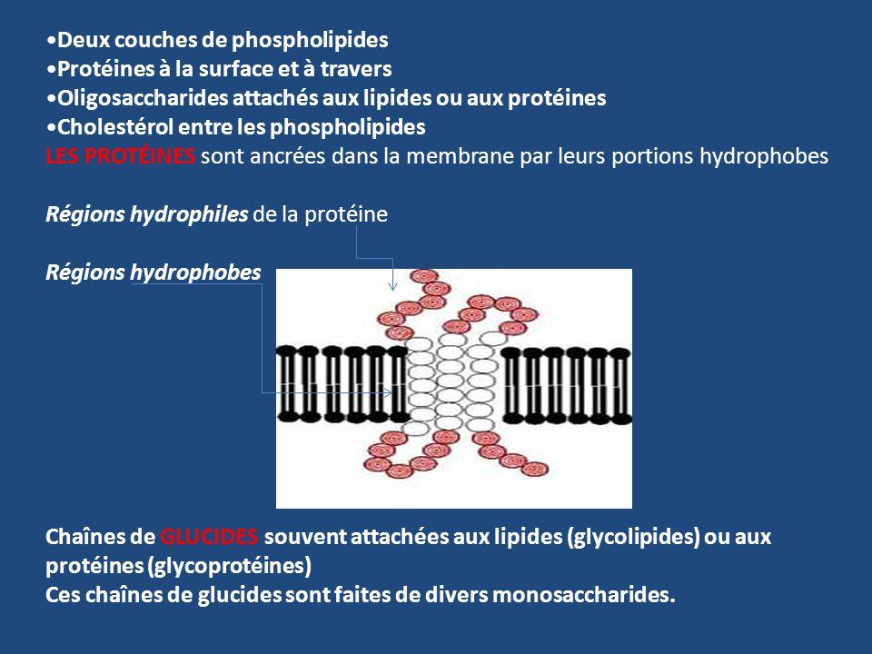 Deux couches de phospholipides Protéines à la surface et à travers Oligosaccharides attachés aux lipides ou aux protéines Cholestérol entre les phosph