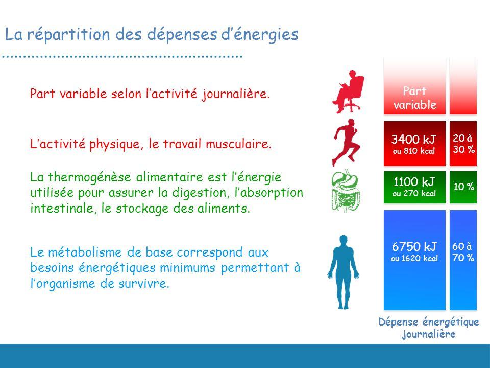 Le métabolisme de base correspond aux besoins énergétiques minimums permettant à lorganisme de survivre. La thermogénèse alimentaire est lénergie util