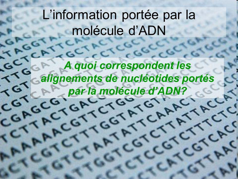 Linformation portée par la molécule dADN A quoi correspondent les alignements de nucléotides portés par la molécule dADN?