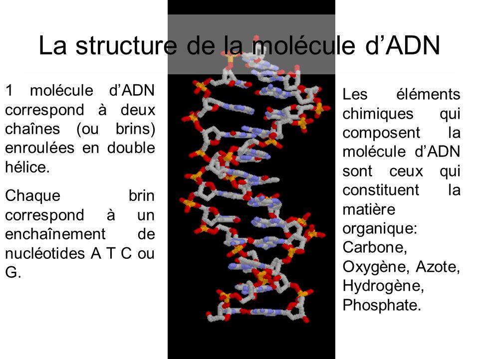 La structure de la molécule dADN 1 molécule dADN correspond à deux chaînes (ou brins) enroulées en double hélice. Chaque brin correspond à un enchaîne
