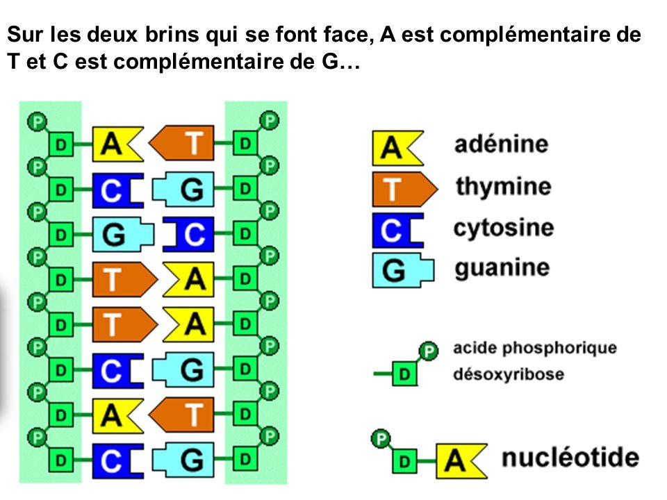 Sur les deux brins qui se font face, A est complémentaire de T et C est complémentaire de G…