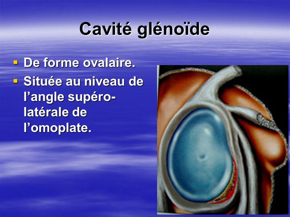 Cavité glénoïde De forme ovalaire. De forme ovalaire. Située au niveau de langle supéro- latérale de lomoplate. Située au niveau de langle supéro- lat