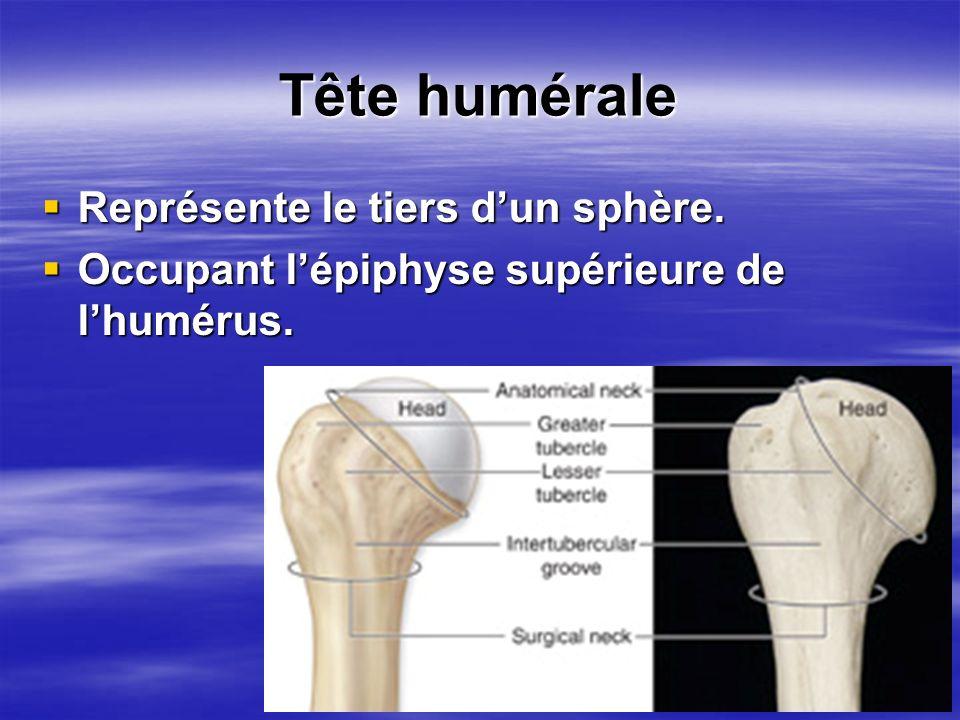 Tête humérale Représente le tiers dun sphère. Représente le tiers dun sphère. Occupant lépiphyse supérieure de lhumérus. Occupant lépiphyse supérieure