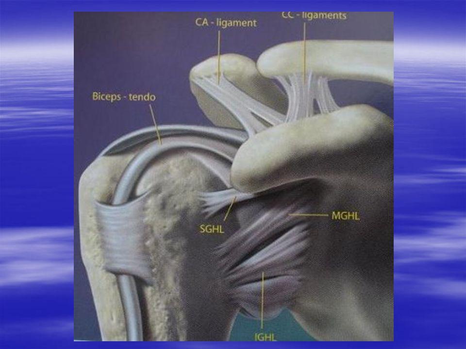 Ligaments passifs (2) Ligament gléno-huméraux : Ligament gléno-huméraux : –Antérieurs.
