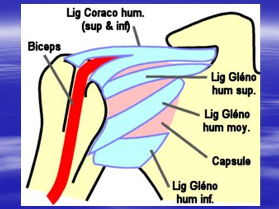Ligaments actifs Ligaments actifs En haut: le muscle sus-épineux.