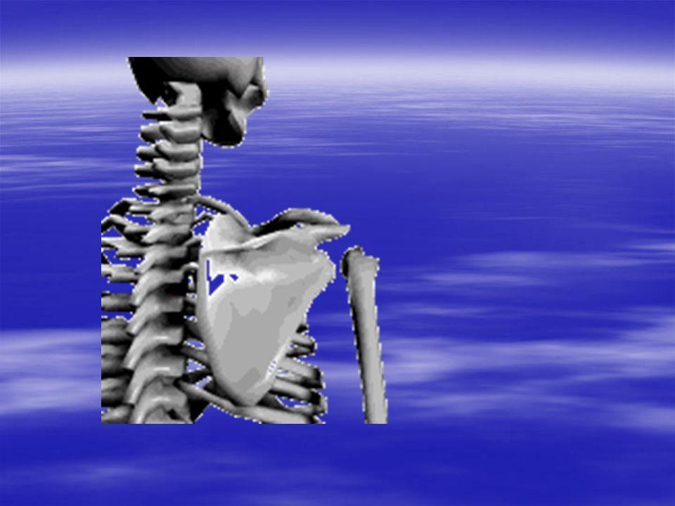 Dans le plan sagittal Autour de laxe transversal : Autour de laxe transversal : Flexion (anté-pulsion) : Elle projette le membre vers lavant, lamplitude 50-80° sans la participation de larticulation scapulo-thoracique peut atteindre 180° avec la participation de cette dernière.