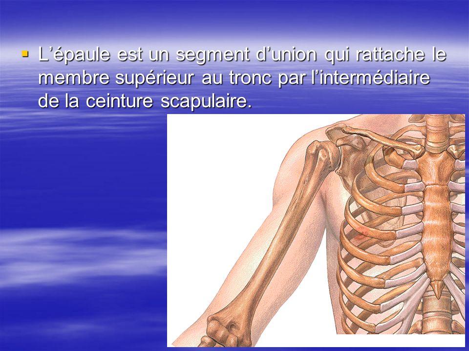 Lépaule est un segment dunion qui rattache le membre supérieur au tronc par lintermédiaire de la ceinture scapulaire. Lépaule est un segment dunion qu