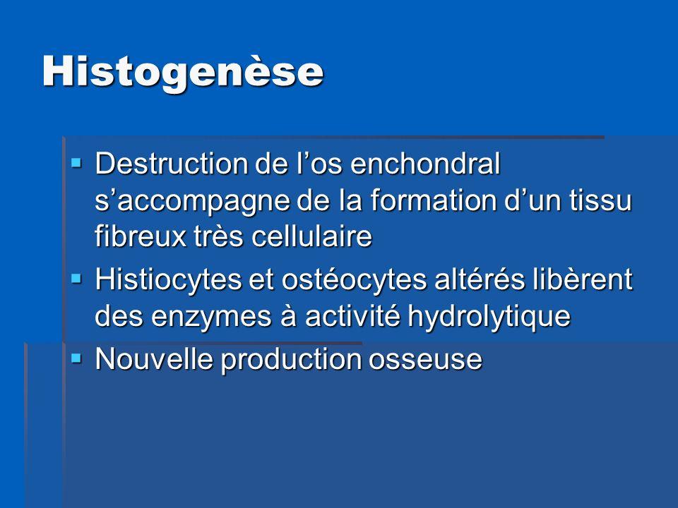 Histogenèse Destruction de los enchondral saccompagne de la formation dun tissu fibreux très cellulaire Destruction de los enchondral saccompagne de l