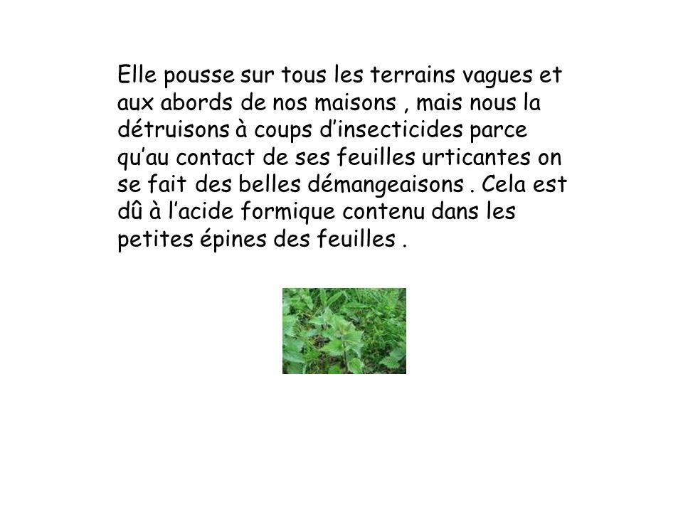 Utilisée des fleurs aux racines Mais cette plante tant méprisée aujourdhui à soigné et nourri hommes et animaux pendant la guerre
