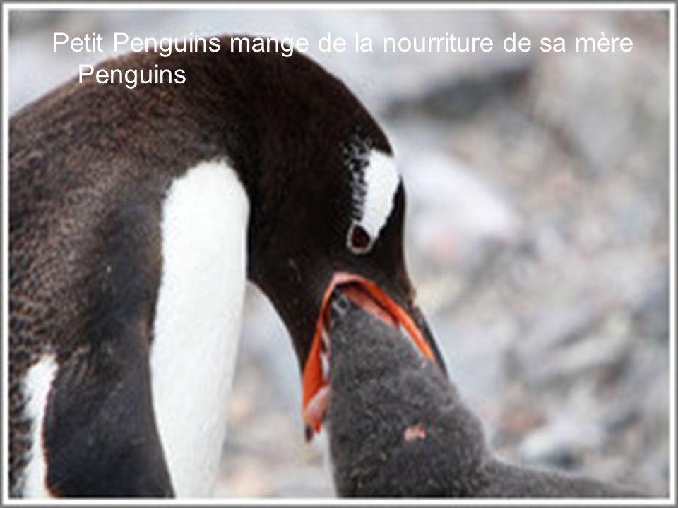 Le bébé penguins apprendre à nager.
