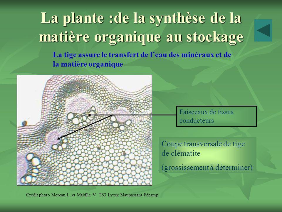 La plante :de la synthèse de la matière organique au stockage La tige assure le transfert de leau des minéraux et de la matière organique Crédit photo