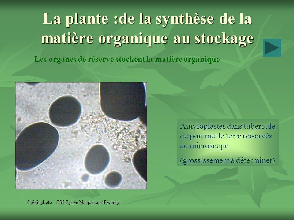 La plante :de la synthèse de la matière organique au stockage Les organes de réserve stockent la matière organique Crédit photo. TS3 Lycée Maupassant