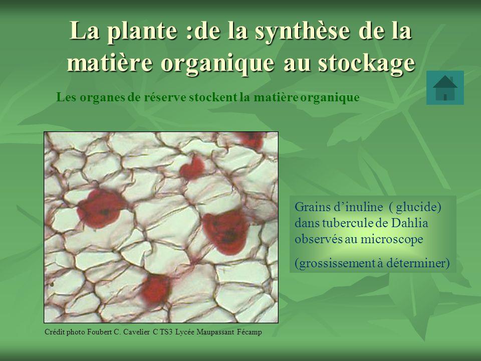 La plante :de la synthèse de la matière organique au stockage Les organes de réserve stockent la matière organique Crédit photo Foubert C. Cavelier C
