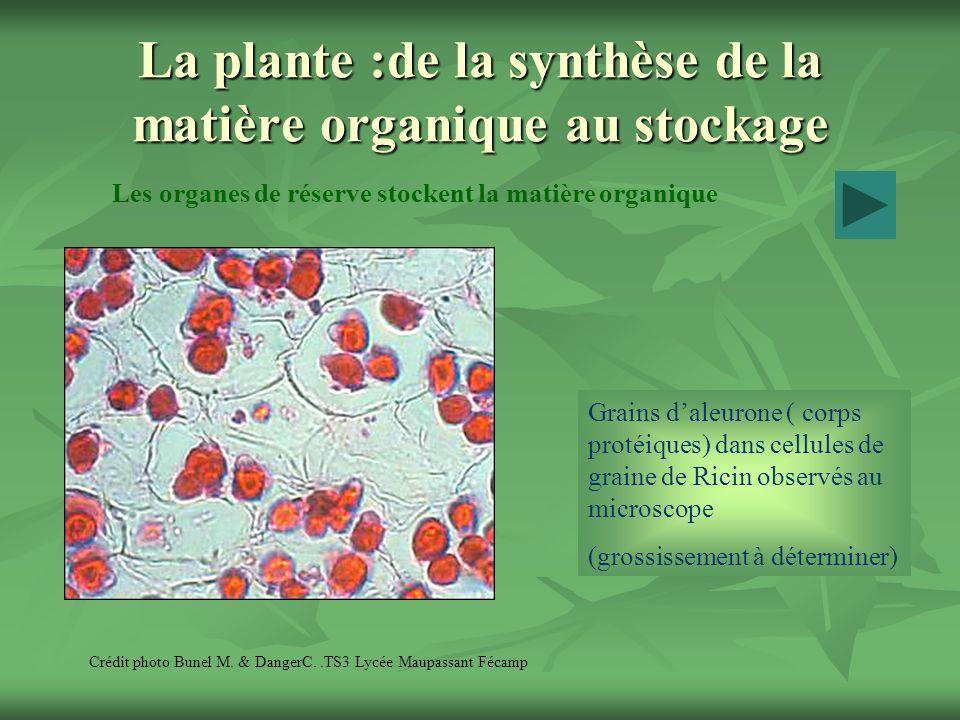 La plante :de la synthèse de la matière organique au stockage Les organes de réserve stockent la matière organique Crédit photo Bunel M. & DangerC..TS