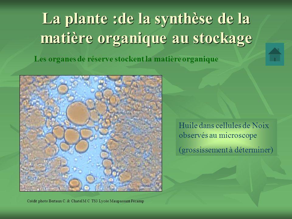 La plante :de la synthèse de la matière organique au stockage Les organes de réserve stockent la matière organique Crédit photo Bertaux C. & Chatel M