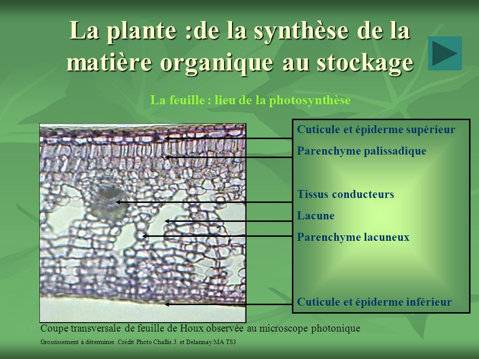 La plante :de la synthèse de la matière organique au stockage La feuille : lieu de la photosynthèse Coupe transversale de feuille de Houx observée au microscope photonique Grossissement à déterminer.Crédit Photo Challis J.