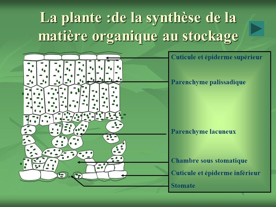 La plante :de la synthèse de la matière organique au stockage Cuticule et épiderme supérieur Parenchyme palissadique Parenchyme lacuneux Chambre sous stomatique Cuticule et épiderme inférieur Stomate