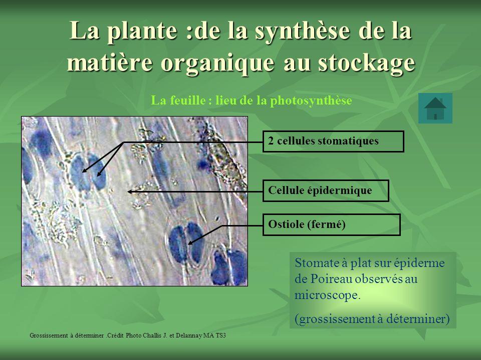 La plante :de la synthèse de la matière organique au stockage La feuille : lieu de la photosynthèse Grossissement à déterminer.Crédit Photo Challis J.