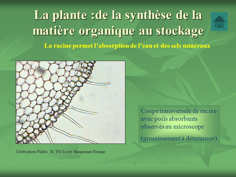 La plante :de la synthèse de la matière organique au stockage La racine permet labsorption de leau et des sels minéraux Crédit photo Wallez M. TS3 Lyc