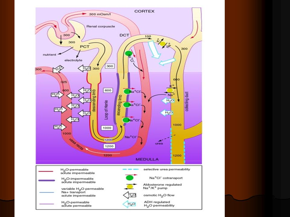 PHYSIOPATHOLOGIE 1.Toxicite directe tubulaire (osm) 2.