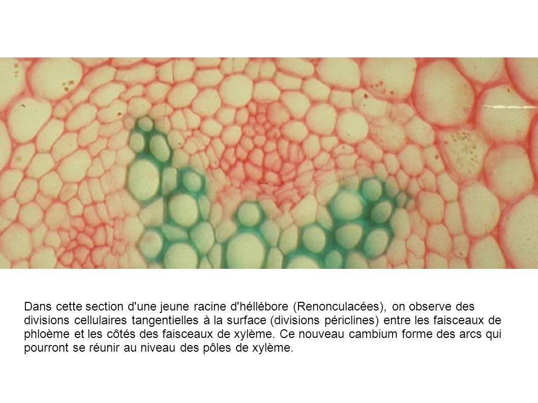 Dans cette section d'une jeune racine d'héllébore (Renonculacées), on observe des divisions cellulaires tangentielles à la surface (divisions périclin