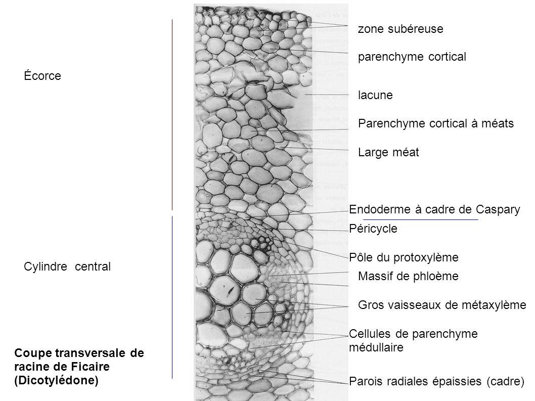 zone subéreuse parenchyme cortical lacune Parenchyme cortical à méats Large méat Endoderme à cadre de Caspary Péricycle Pôle du protoxylème Massif de