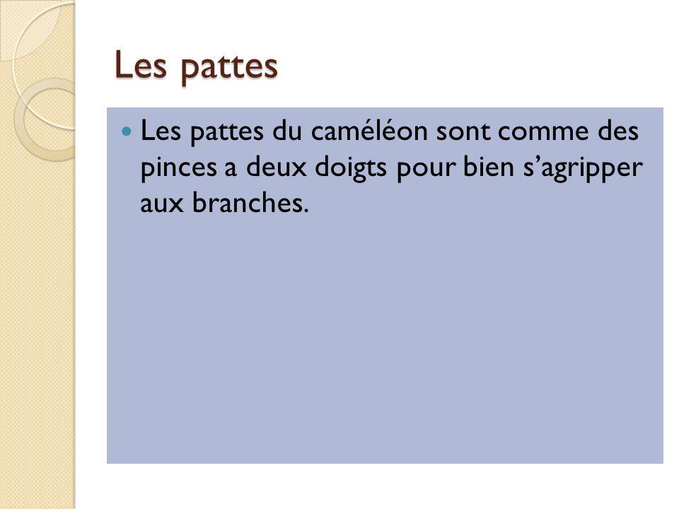 Les pattes Les pattes du caméléon sont comme des pinces a deux doigts pour bien sagripper aux branches.