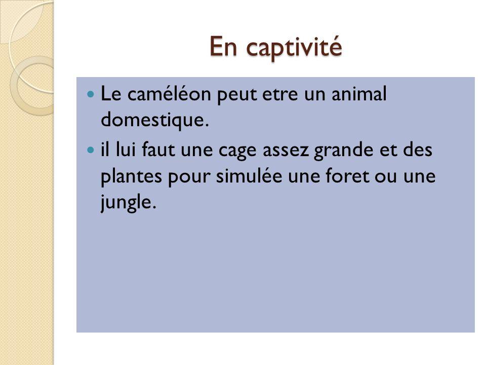En captivité Le caméléon peut etre un animal domestique.
