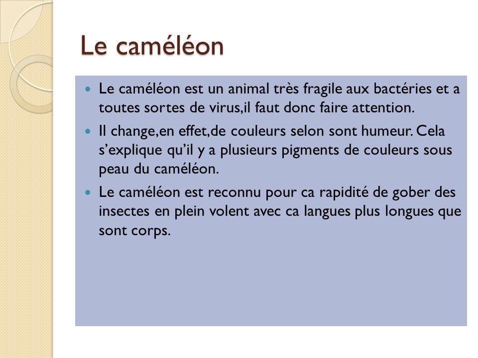 Le caméléon Le caméléon est un animal très fragile aux bactéries et a toutes sortes de virus,il faut donc faire attention.