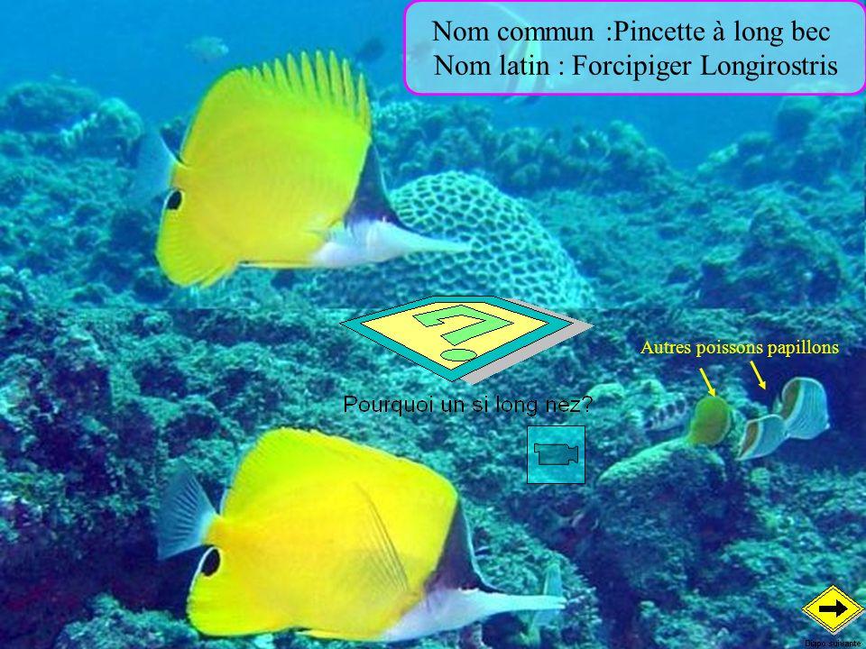 Nom commun :Pincette à long bec Nom latin : Forcipiger Longirostris Autres poissons papillons