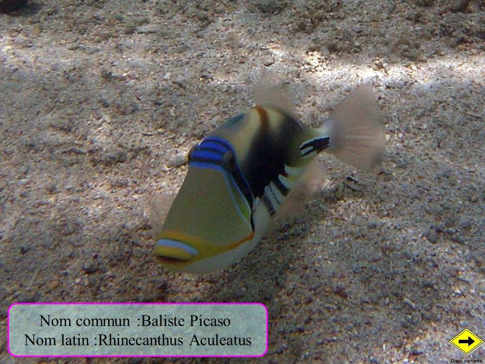 Nom commun :Baliste Picaso Nom latin :Rhinecanthus Aculeatus