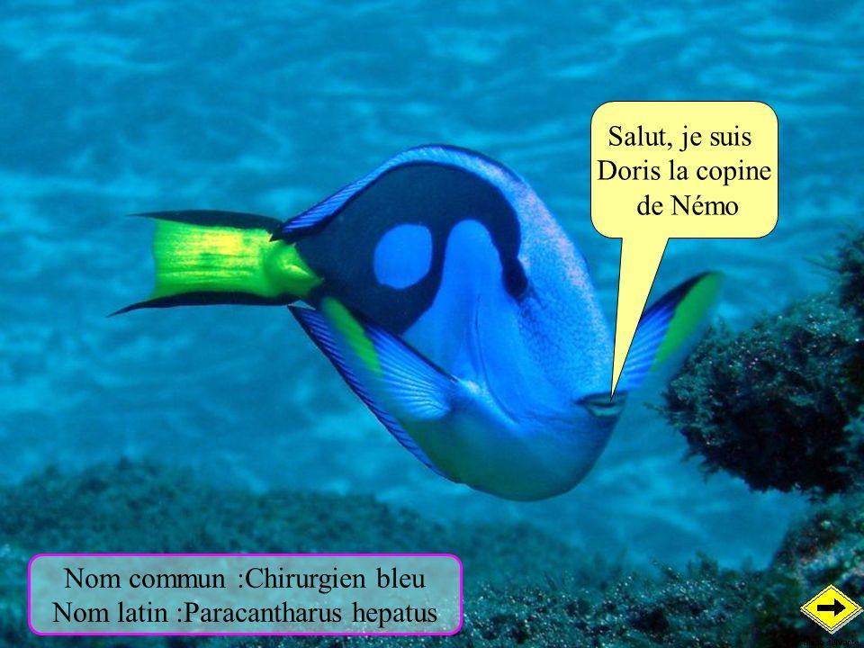 Salut, je suis Doris la copine de Némo Nom commun :Chirurgien bleu Nom latin :Paracantharus hepatus