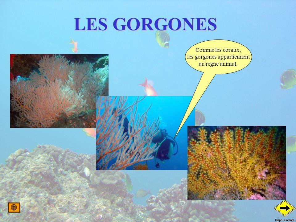 LES GORGONES Comme les coraux, les gorgones appartiennent au regne animal.
