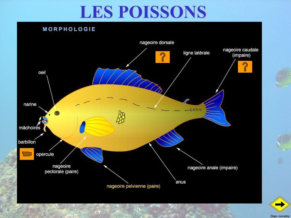 LES AUTRES POISSONS Les poissons plats Cocher Heniochus monoceros Idole des maures Zanclus cornutus Poule deau Platax orbicularis