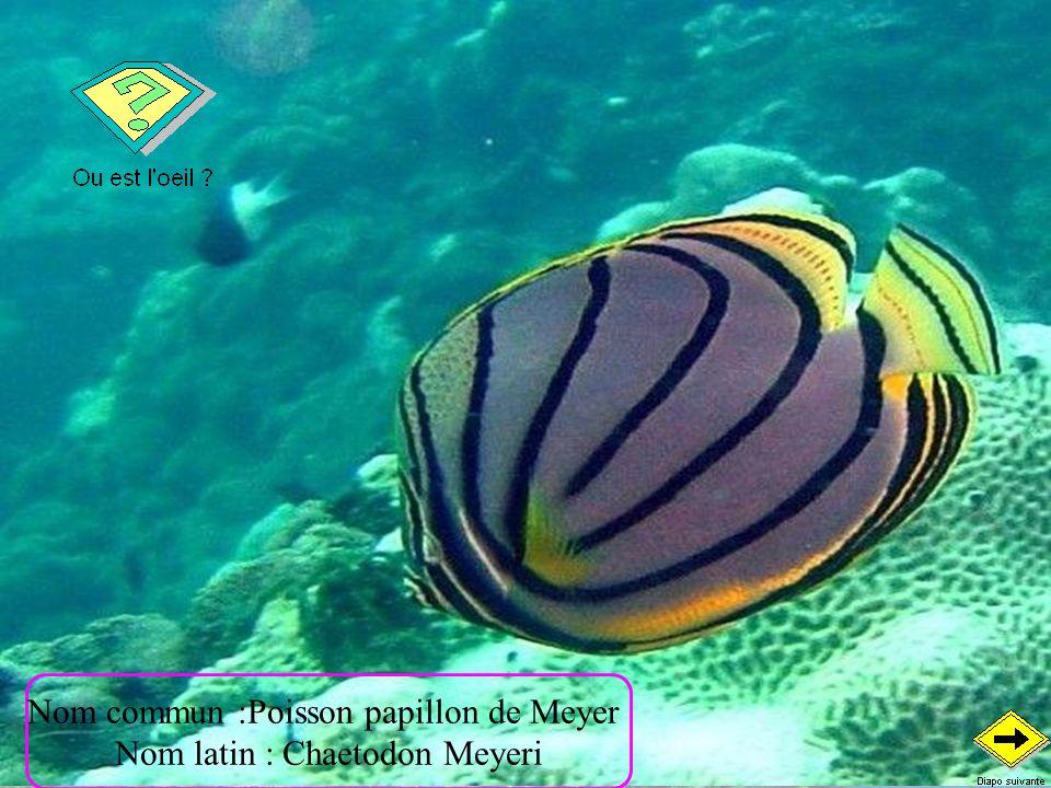 Nom commun :Papillon vagabond Nom latin : Chaetodon Vagabundus